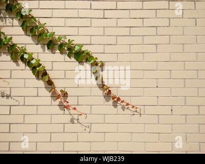 Close-up of Ivy sur mur de brique Banque D'Images