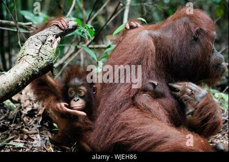 Le triste enfant avec maman. L'Indonésie. Borneo.Pongo pygmaeus wurmbii - populations sud-ouest. Banque D'Images