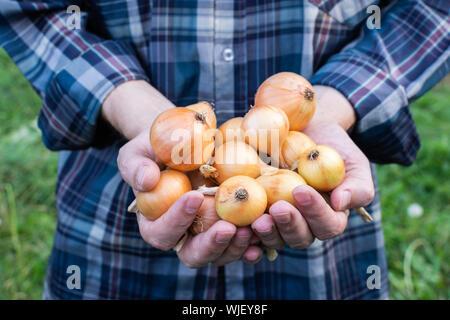 Agriculteur détient un oignons récolte fraîche dans ses mains, légumes bio du jardin Banque D'Images