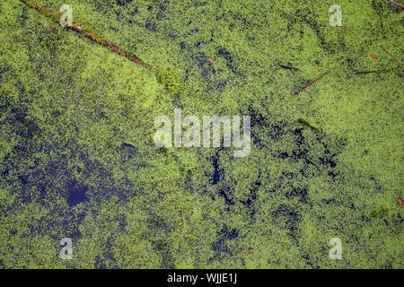 Les algues vertes flotte sur l'eau encore dans un étang marécageux. Banque D'Images