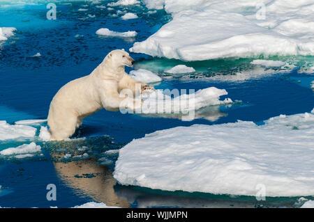 Le saut de l'ours polaire entre la glace flotte au Svalbard en Norvège dans l'Arctique. Banque D'Images