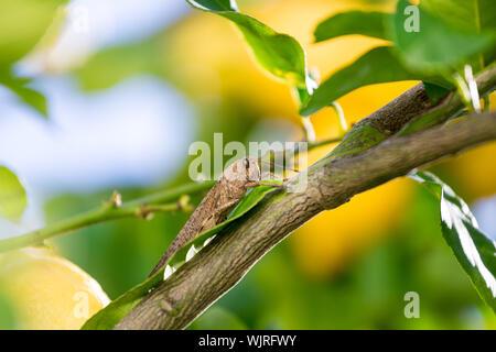 Locust est assis sur une branche de citronnier, closeup Banque D'Images