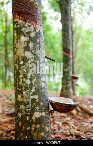 Le latex de la collecte d'un arbre à caoutchouc taraudé au Vietnam Banque D'Images