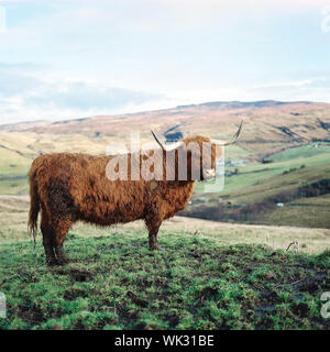 Highland Cow Standing sur terrain Against Sky Banque D'Images