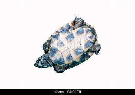 Close-up de tortue contre fond blanc Banque D'Images