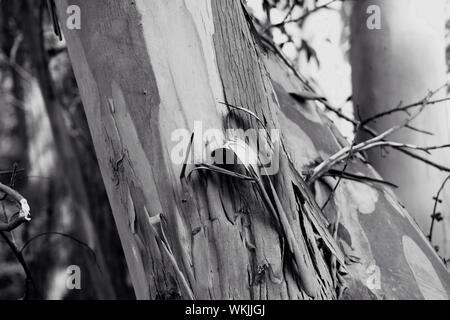 Close-up de l'écorce du tronc de l'arbre écaille Banque D'Images