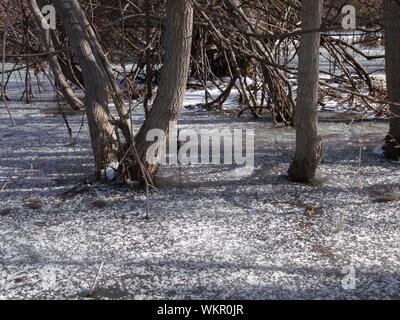 Arbres nus en marais gelés en hiver Banque D'Images