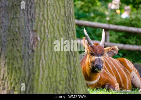 L'antilope Bongo au zoo de Prague, nettoyer jour derrière l'arbre Banque D'Images