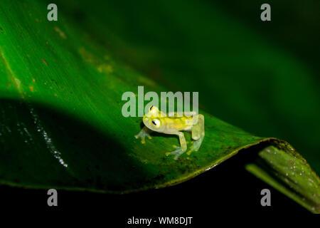 Verre réticulé Frog - La faune du Costa Rica Banque D'Images