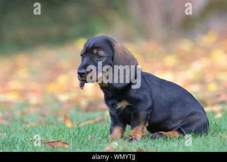 Roughhaired dachshund (Canis lupus familiaris) Puppy, 8 semaines, assis dans un pré, Allemagne Banque D'Images