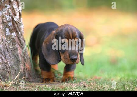 Roughhaired dachshund (Canis lupus familiaris), chiot de 8 semaines, le comité permanent sur l'arbre, Allemagne Banque D'Images