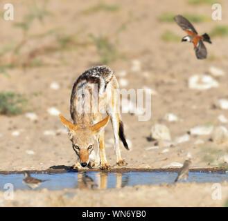 Le Chacal noir au dos de sa trempe, l'établissement abrite un point d'eau avec les oiseaux en vol à boire. Canis mesomelas Banque D'Images