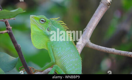 Close-up of Lizard On Tree Branch Banque D'Images