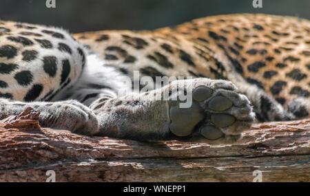 Patte de léopard (Panthera pardus) sur les maisons en bois rond, avec l'arrière-plan du corps Banque D'Images