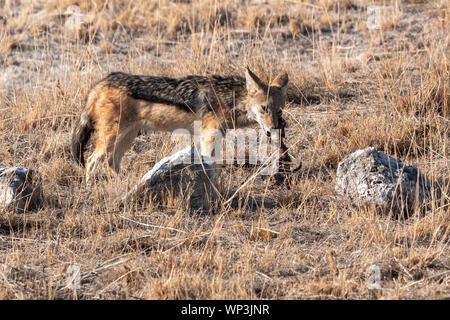Le Chacal à dos noir se nourrissant de carcasse, Etosha National Park, Namibie, Afrique Banque D'Images