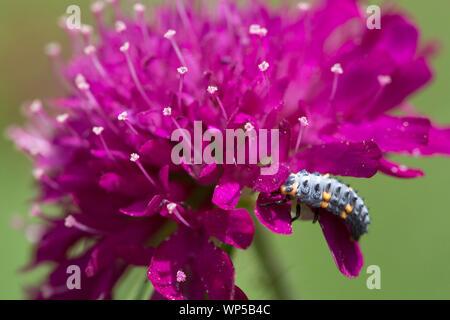 La larve de la sept-spot ladybird (Coccinella septempunctata) sur un champ scabious Banque D'Images