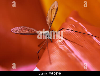 Tipule grêles (Tipulidae) perché sur un insecte rouge lumineux piscine gonflable jouet.