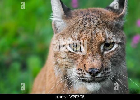 Le lynx eurasien (Lynx lynx) close-up portrait Banque D'Images