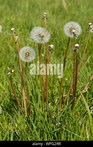 Le pissenlit (Taraxacum officinale) réveil seedheads et tiges de graines dispersées en pâturage de graminées au printemps, Berkshire, Mai