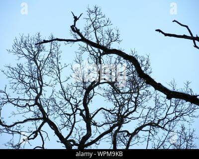 Low Angle View of branches dénudées contre Ciel Bleu clair Banque D'Images