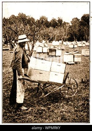 Un magazine 1924 photographie montrant un travailleur sur une ferme commerciale de la Nouvelle-Zélande bee déménagement urticaire sur une brouette Banque D'Images