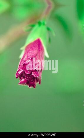 Close-up of Rose contre l'arrière-plan flou