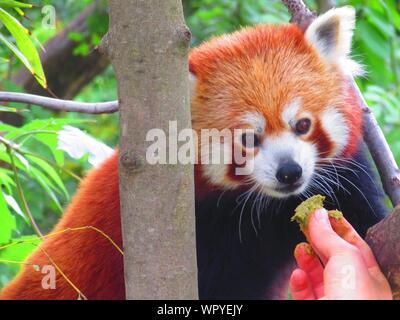 Portrait de l'alimentation à la main le panda rouge Banque D'Images