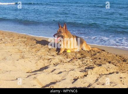 Berger Allemand Sticking Out Tongue tout en se reposant à Beach Banque D'Images