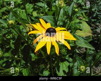 Close-up of black-eyed Susan fleur qui s'épanouit en plein air Banque D'Images