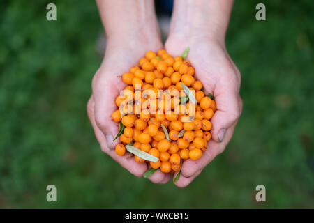 Femme tenant des baies d'argousier dans les mains. Concept de récolte d'automne Banque D'Images