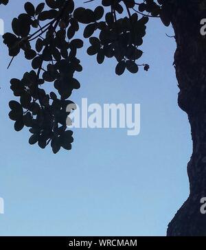 Close-up of Tree Silhouette recadrée contre Ciel Bleu clair Banque D'Images