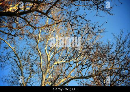 Close-up de branches nues contre Ciel Bleu clair Banque D'Images