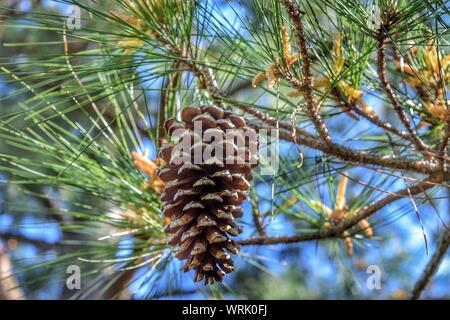 Low Angle View of Pine Cone Hanging on Tree Banque D'Images