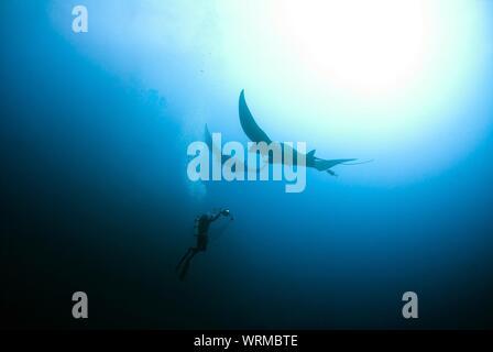 Low Angle View Of Scuba Driver Nager avec des raies Manta en mer Banque D'Images