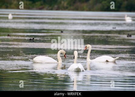 Nager dans Le Lac des cygnes blancs Banque D'Images