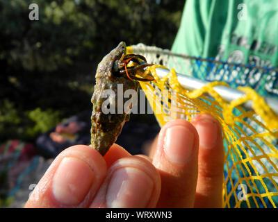 Cropped Hand Of Man Holding Shell des animaux avec l'Ermite sur filet de pêche Banque D'Images