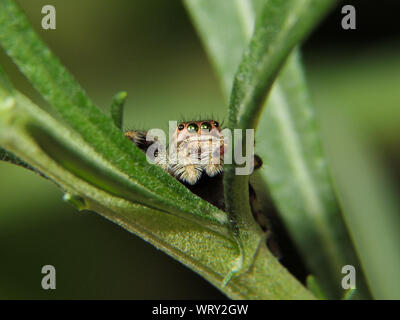 Close-up of Zodariidae On Leaf Banque D'Images