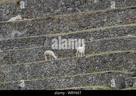 Les alpagas à Machu Picchu Banque D'Images