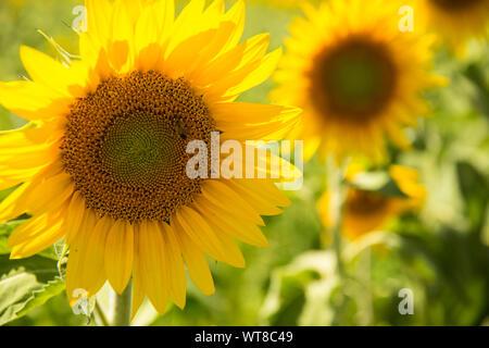 Lumineuses et tournesols jaunes poussent en abondance dans le sud de la France, Provence, Valensole. Les agriculteurs locaux cultivent en abondance le long du côté de la lavande. Banque D'Images