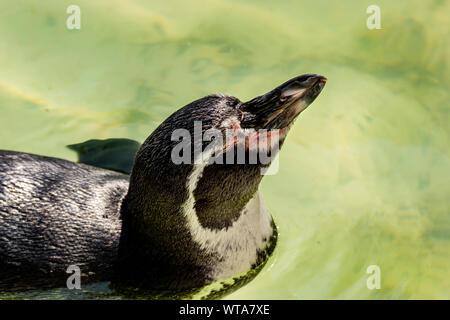 Penguin nager dans le soleil au Zoo de Newquay, à Cornwall, UK Banque D'Images
