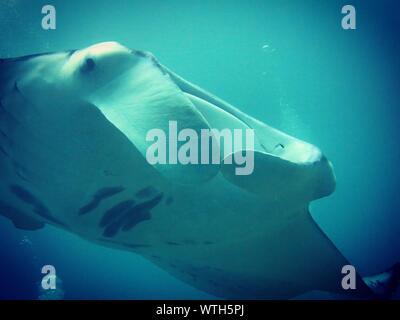 Low Angle View Of Manta Ray la natation dans la mer bleue Banque D'Images