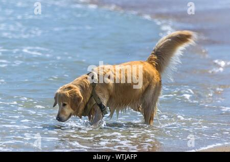 Chien à poil long s'amusant de jouer dans la mer Banque D'Images