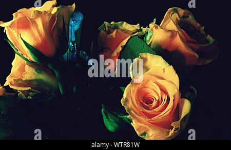 Close-up de fleurs Rose Orange Banque D'Images