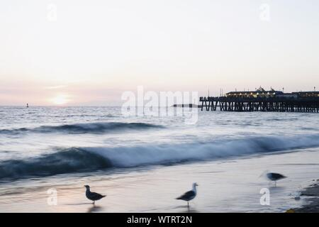 Les oiseaux en silhouette contre le ciel de la plage pendant le coucher du soleil Banque D'Images