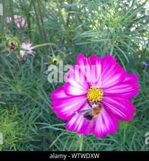 Close-up d'Abeille Pollinisant Cosmos Rose Banque D'Images