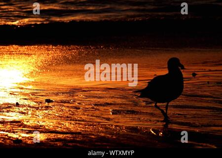 Mouette sur la plage pendant le coucher du soleil Banque D'Images