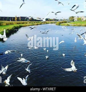 Vol de mouettes au-dessus de River Against Sky Banque D'Images