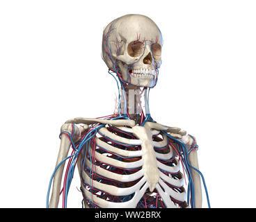L'anatomie humaine. Squelette du tronc avec les veines et les artères. Vue avant Vue. Sur fond blanc. 3d illustration. Banque D'Images