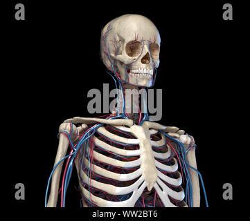 L'anatomie humaine. Squelette du tronc avec les veines et les artères. Vue avant Vue. Sur fond noir. 3d illustration. Banque D'Images