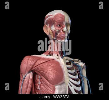 L'anatomie humaine avec les muscles du squelette du torse, veines et artères./vue perspective, sur fond noir. Anatomie 3d illustration Banque D'Images